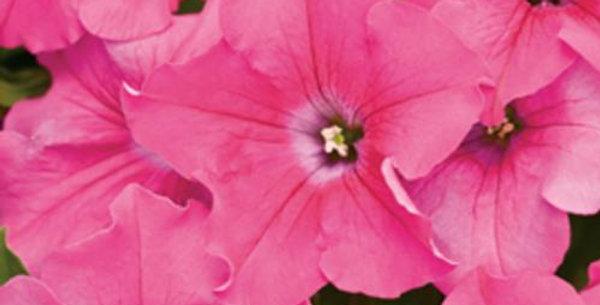 Petunia Supertunia® Giant Pink