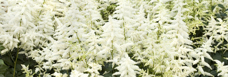 Visions in White Astilbe   1gal