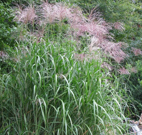 Giant Maiden Grass