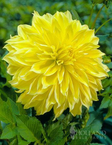 Dahlia Kelvin Floodlight Bright Yellow