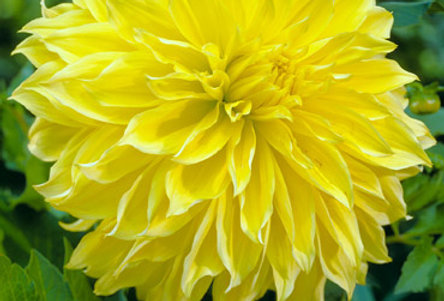 Dahlia Kelvin Floodlight Bright Yellow
