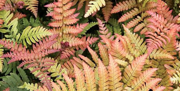 Brilliance Autumn Fern   2gal
