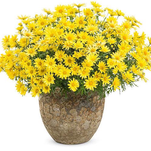 Golden Butterfly® Marguerite Daisy Argyranthemum frutescens