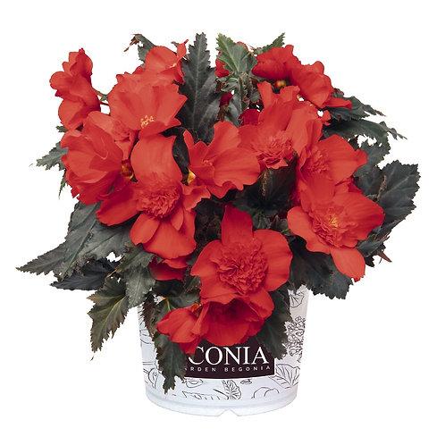 Begonia I'Conia®Portofino Red