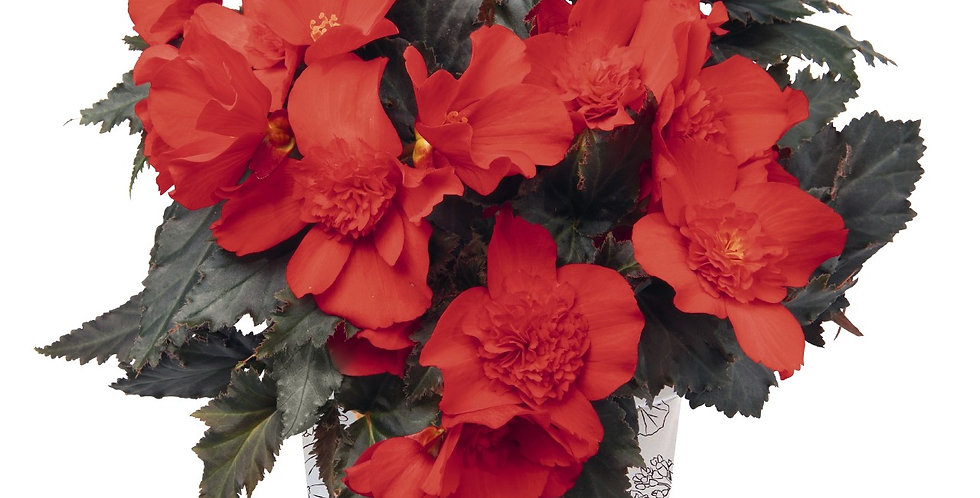 Begonia I'Conia®Portofino Red