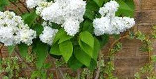 Mme. Lemoine Lilac   60cm5G
