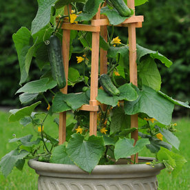 CUCUMBER  PATIO SNACKER   Box with 8 Plants