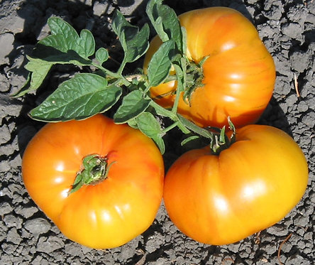 Heirloom Old German Tomato