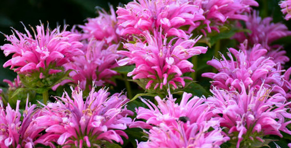 "Pardon My Pink Monarda   8"" pot"