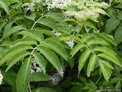 Canadian Elderberry