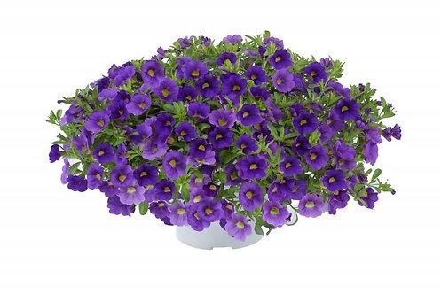 Calibrachoa LIA™ Blue