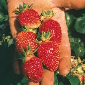 Strawberry Berri Basket® White Hanging Basket