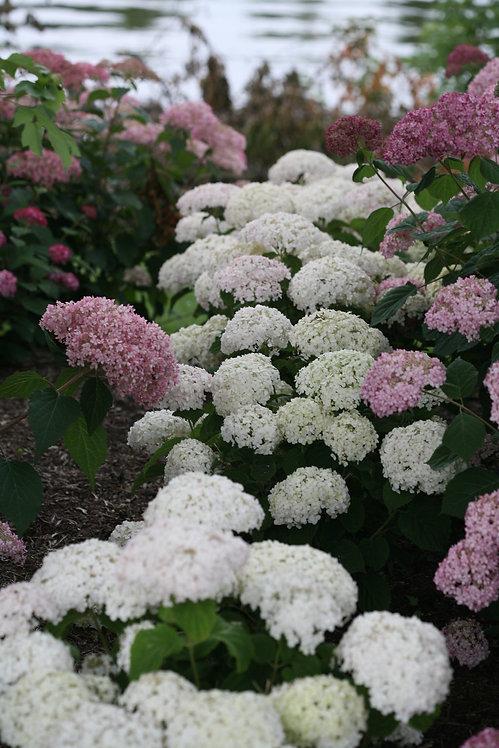 Invincibelle Wee White® Smooth Hydrangea   2G