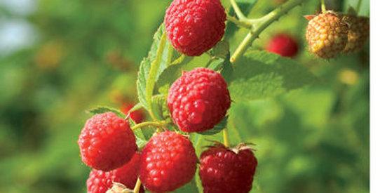 Raspberry Prelude Everbearing
