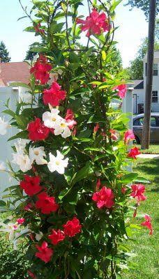 Mandevilla Bicolour Red & White Large Leaf