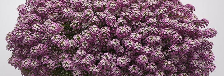 Lobularia Easy Breezy™ Purple