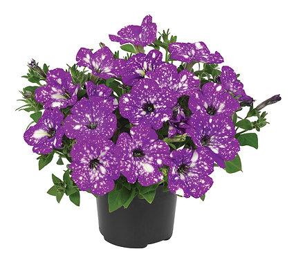 Petunia Constellation Aris Purple Blue