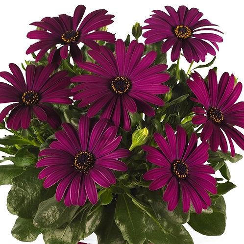 Osteospermum Cape Daisy Purple