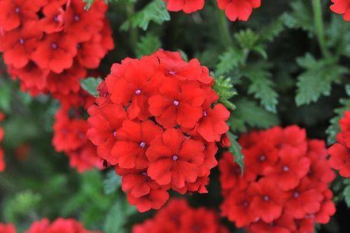 Verbena Empress™ Flair Dark Red Charme