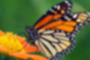 Black Forest Garden Centre Monarch Butterfly and pollinator plants