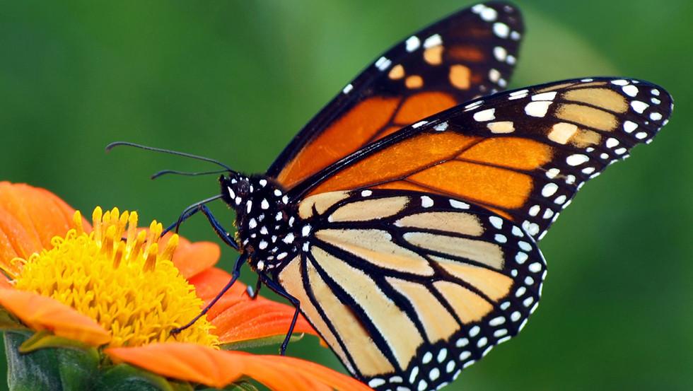 Butterflies and Pollinators
