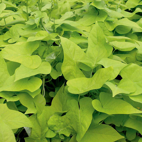 Proven Accents® Margarita Sweet Potato Vine