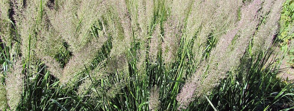 Korean Feather Reed Grass   2gal