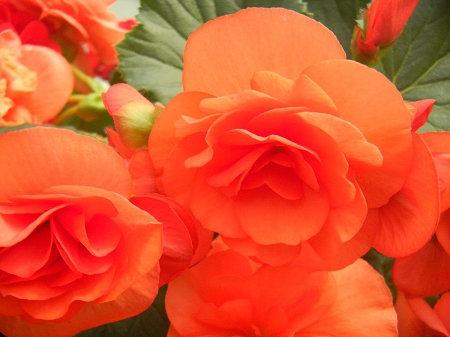 Begonia Solenia® Rieger Orange
