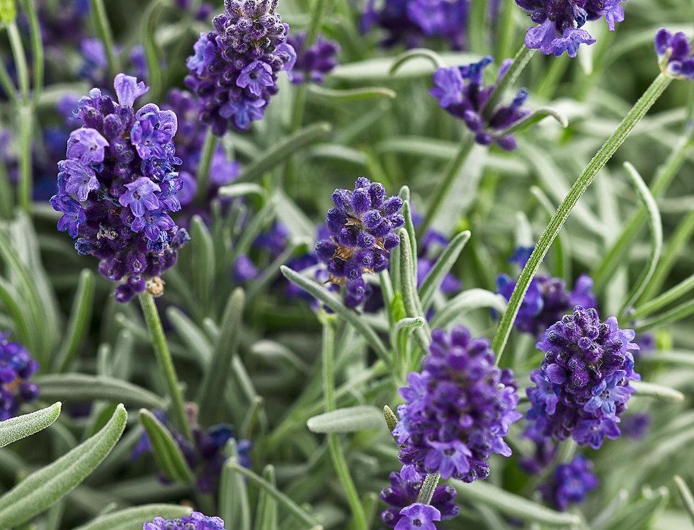 Sweet Romance® Lavender Lavandula angustifolia