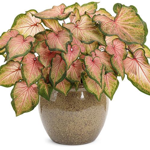 Caladium Strap Leaf Chinook