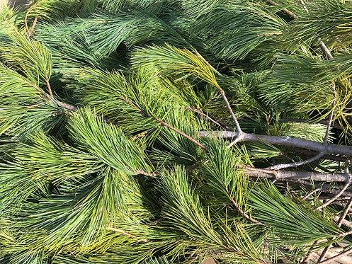 BC White Pine