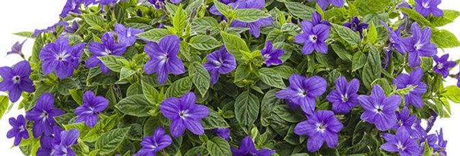 Browalia Endless™ Illumination  Violet
