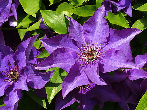 The President Clematis   1G