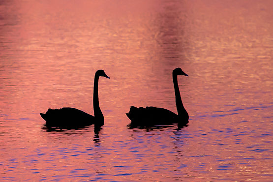 Two_Swans.jpg