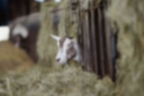 Errington Cheese Scotland246.jpg