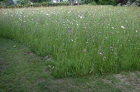 wildflower grass