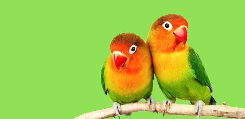 Гледане на папагали, птици, рибки, игуани, хамстери, морски свинчета и други животни у дома.