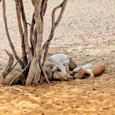 Animals at La Guajira Desert, Colombia