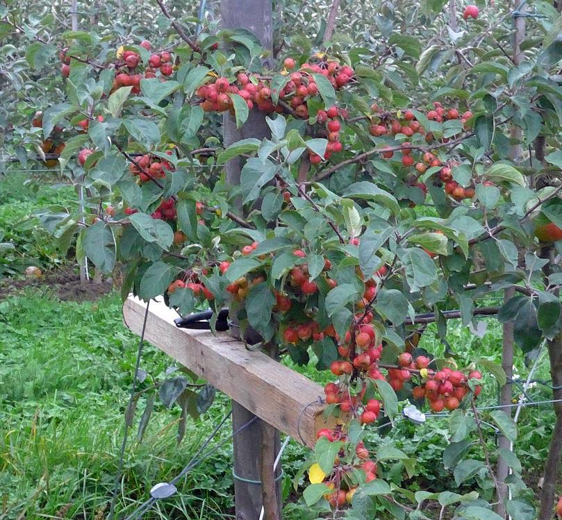 Prydnadsaplar som pollinerar äpplena
