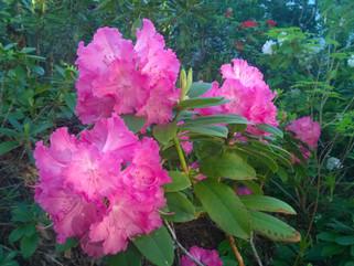 Rhododendron i min trädgård