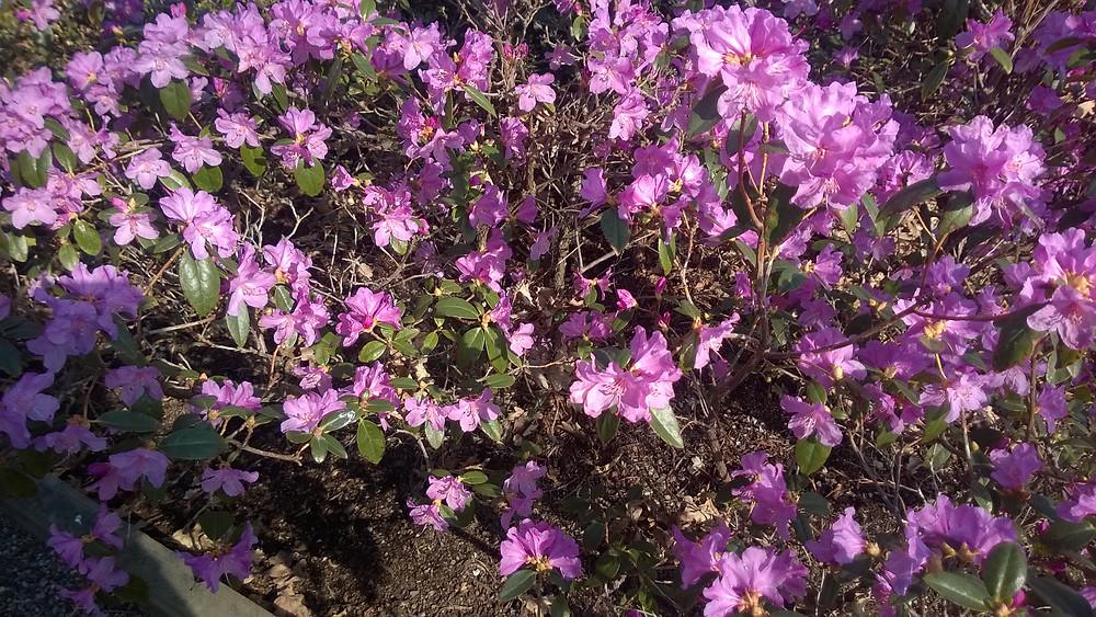 Rothoffsparken deras tidigast blommande rhododendron