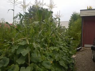 Odling av majs