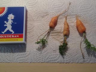 Övervintrade morötter