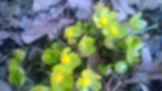 Gullflocka - Hacquetia epipactis.jpg