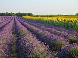 lavender-522539_1280.jpg