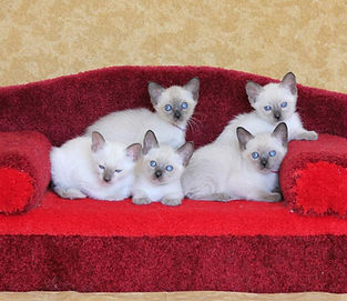 Wichienmaat kittens.jpg