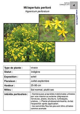 Hypericum perforatum - Millepertuis perforé