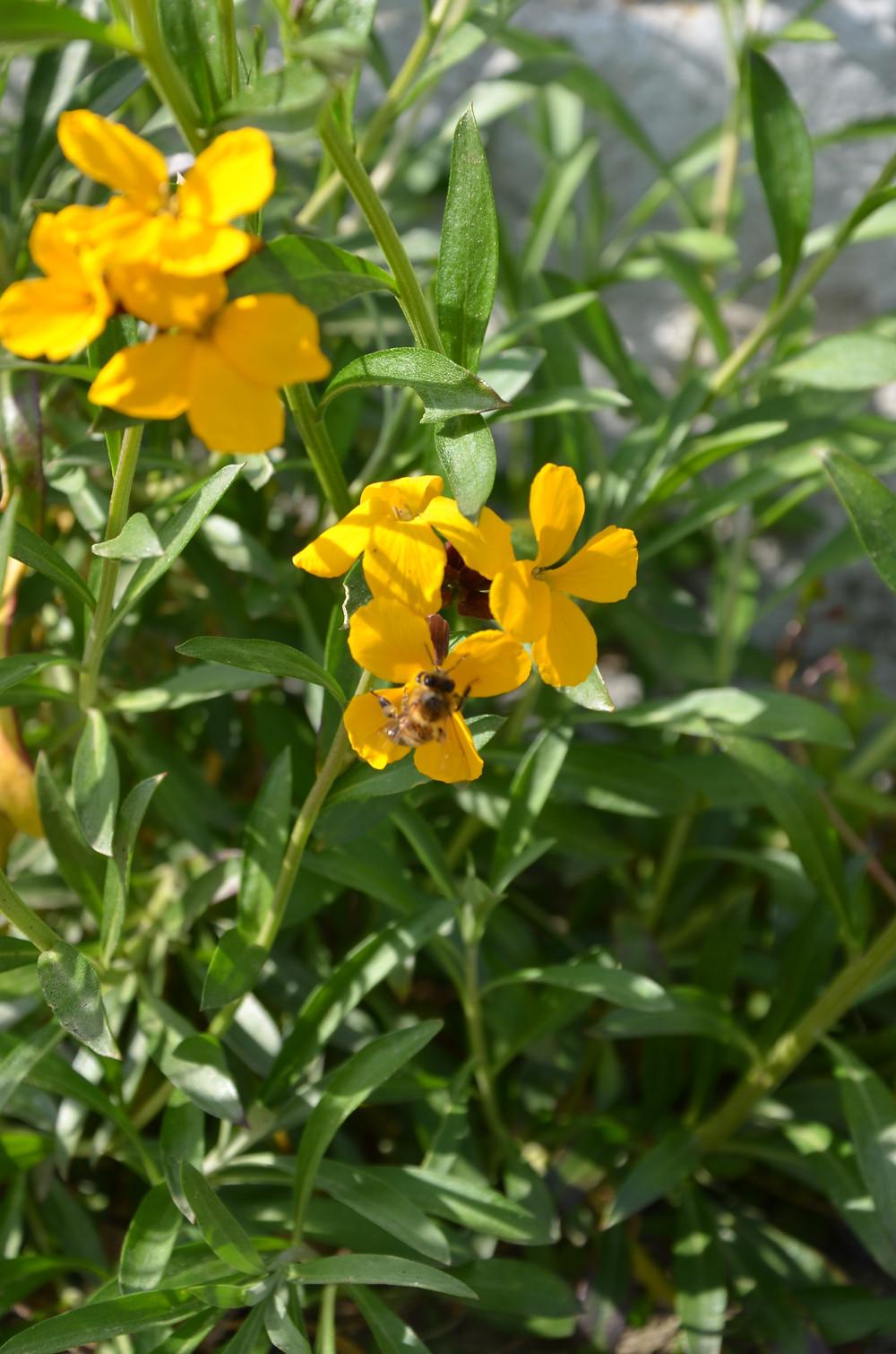 La giroflée embellit le pied de mon mur, et les abeilles viennent en profiter aussi!