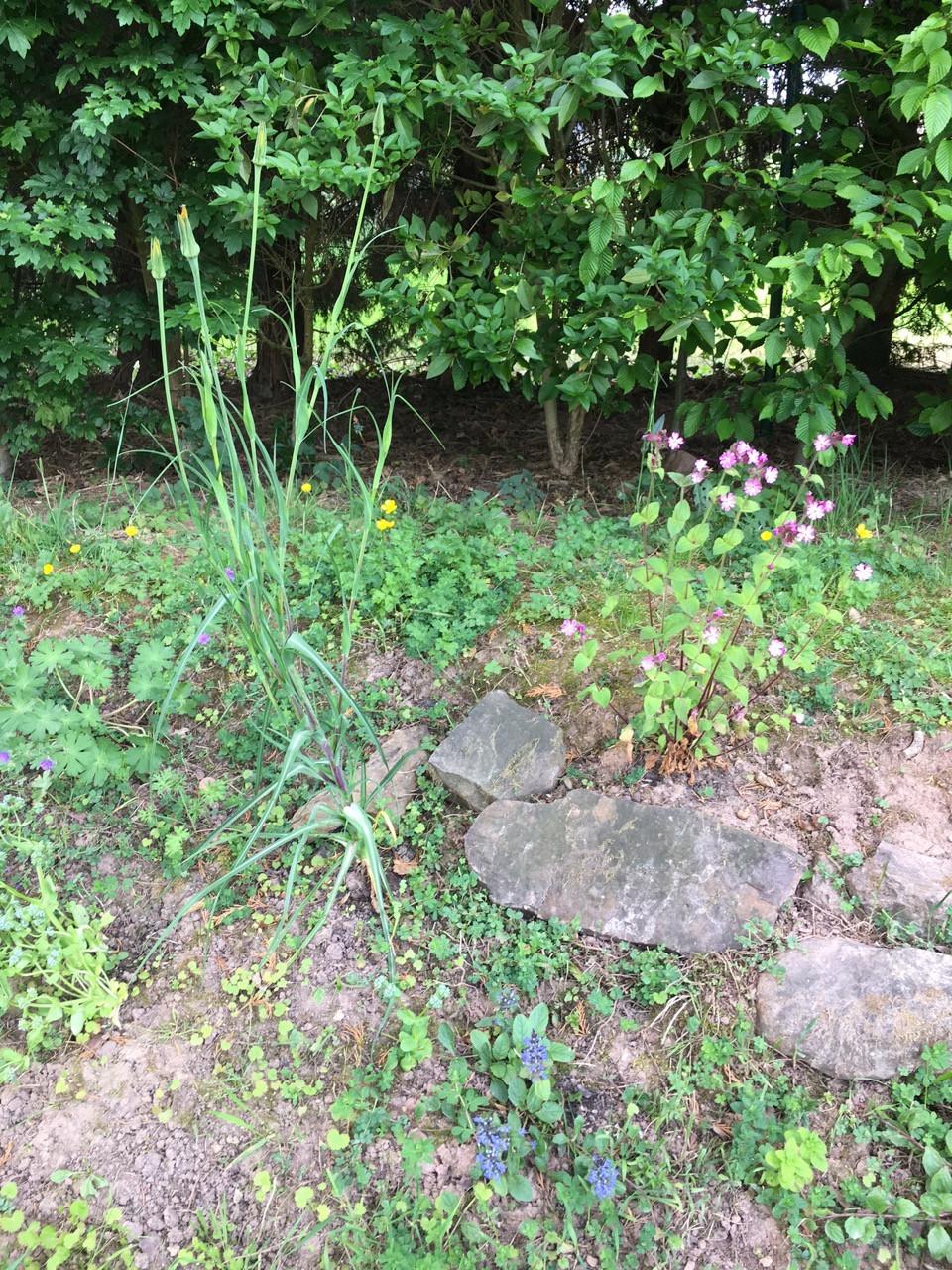 Je pense à toi en effectuant le premier gros désherbage de mon petit talus pierreux planté l'automne passé de quelques plantes sauvages venant de chez toi.  Quel régal pour les yeux : aspérule, giroflée, compagnon rouge, bugle rampant sont en fleurs ! J'attends l'ouverture de mon salsifi avec impatience et ça ne c'aurait plus tarder... Et aussi la pimprenelle, les marguerites et les géraniums ! A très bientôt, Gwenn