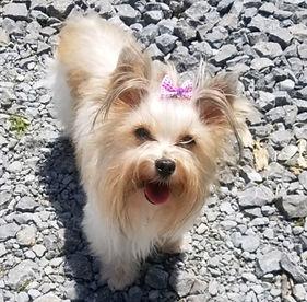 Yorkshirer Terrier